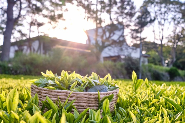 Innisfree lists green tea farms in Korea's Jeju island on Airbnb